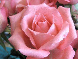Rosa Rose aus dem Blumenstrauß der Woche vom 18. - 22. März 2012.