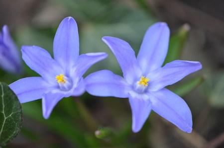 Zwei kleine Blausternchen langweilen sich im februarkalten Aprilgarten 2013 (Foto: Martin Dühning)