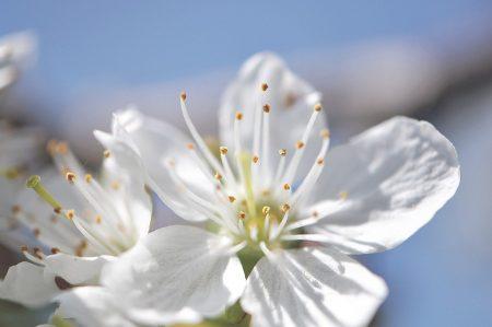 Vor klarem, blauen Himmel, auf den viele so lange gewartet haben, leuchten weiße, flauschige Kirschblüten.