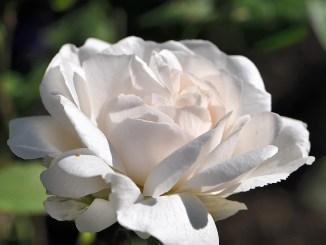 Tischtuchweiße Rosenblüte - sieht sie nicht festlich aus?
