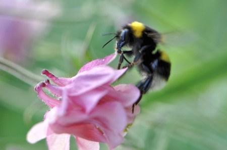 Eifrige Hummelchen eilen von Blüte zu Blüte - schnell, bevor die Akelei schon wieder verblüht ist...