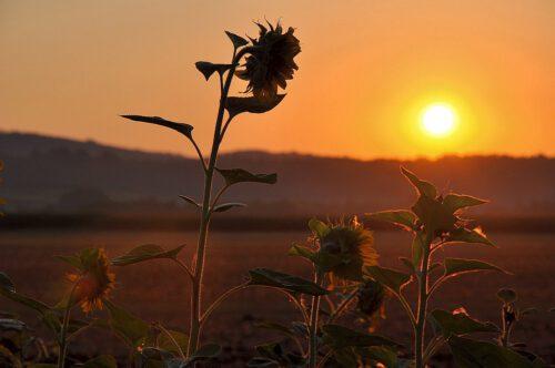 Sonnenblumen auf einem Feld bei Oberlauchringen vor dem Sonnenaufgang des 15. August - Mariä Himmelfahrt 2013 (Foto: Martin Dühning)