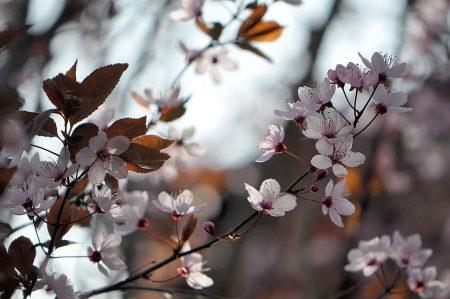 Japanische Kirschblüte Anfang April 2014, fotografiert von Martin Dühning