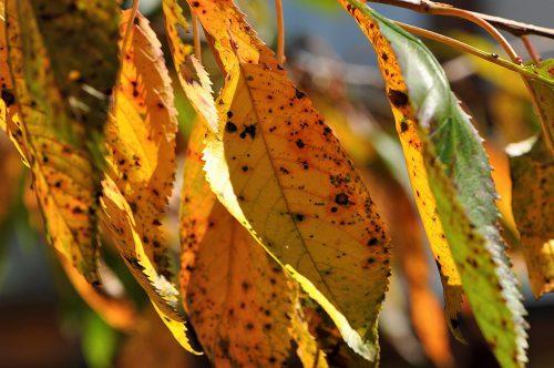Der Kirschbaum hat sein Laub schon auf Herbstfärbung umgestellt, und das schon seit Mitte August. Ihm war es wohl auch zu kalt 2014. (Foto: Martin Dühning)