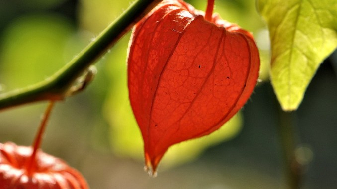 Herbstlich bunt leuchtende Lampionblume im August (Foto: Martin Dühning)