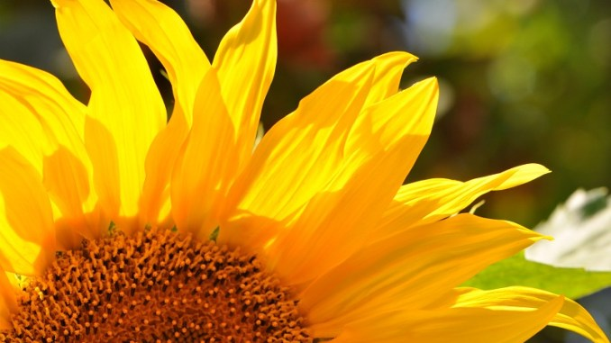 Helle Sonnenblume, fotografiert von Martin Dühning