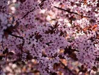 Kirschblüten in der Frühlingssonne 2017 (Foto: Martin Dühning)