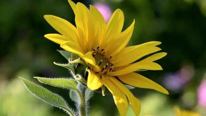 Eine der ersten Sonnenblumen im heimischen Garten 2017 (Foto: Martin Dühning)