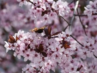 Kirschblütenschmetterling (Foto: Martin Dühning)