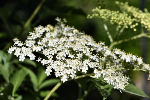 Heimische Holunderblüten (Foto: Martin Dühning)