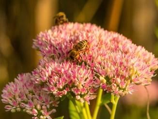 Bienchen an Niarts-Blumen im September 2019 (Foto: Martin Dühning)