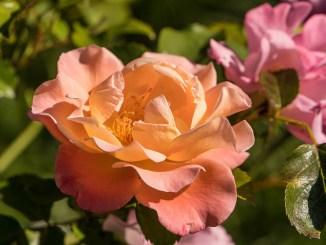 Aprikosenfarbene Rosen im September 2019 (Foto: Martin Dühning)