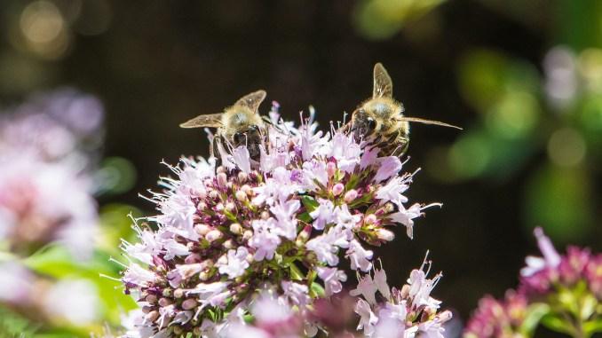 Bienchen auf Oreganoblüten (Foto: Martin Dühning)