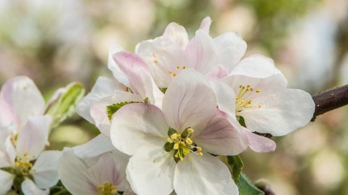 Apfelblüten im heimischen Garten 2021 (Foto: Martin Dühning)