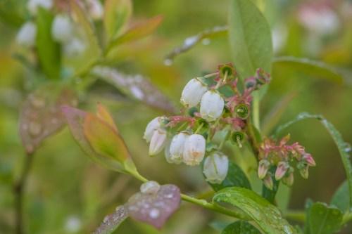 Heidelbeerblüten im Mai 2021 (Foto: Martin Dühning)