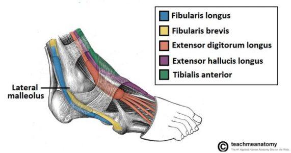 tibial anterior e extensor dos dedos