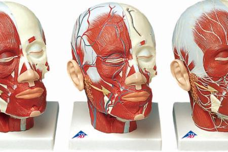 interior pictures facial muscles » Full HD MAPS Locations - Another ...