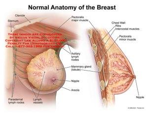 breast – Anatomy Exhibits