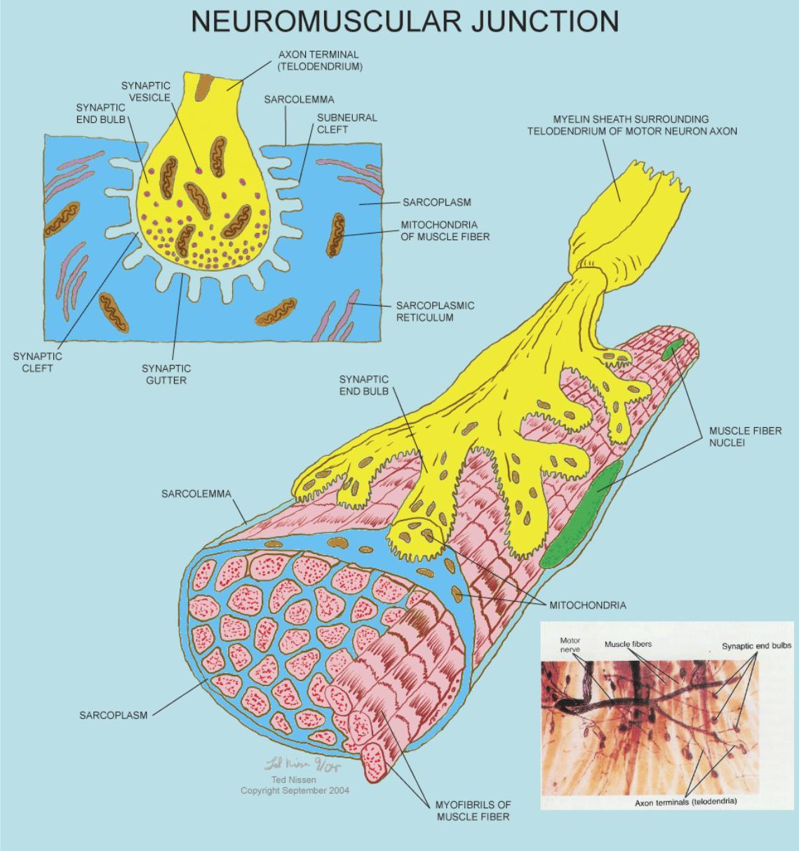 Anatomy Amp Physiology Illustration