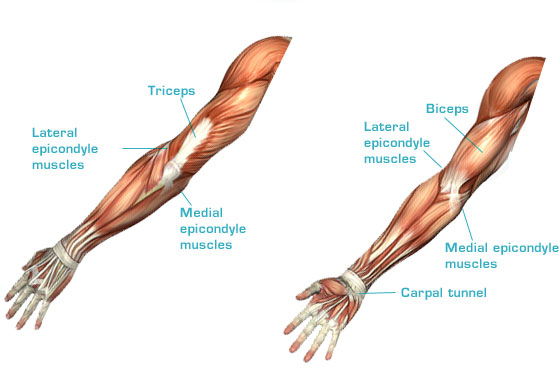 Lateral epicondyle muscles and medial epicondyle muscles ...