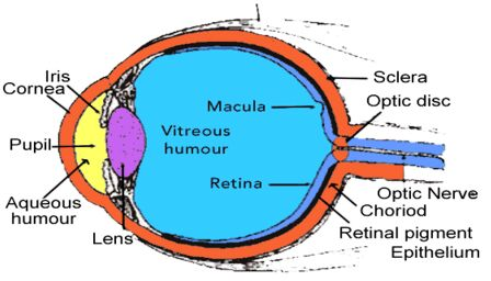 The Vitreous Humor In The Human Eye Download Scientific Diagram