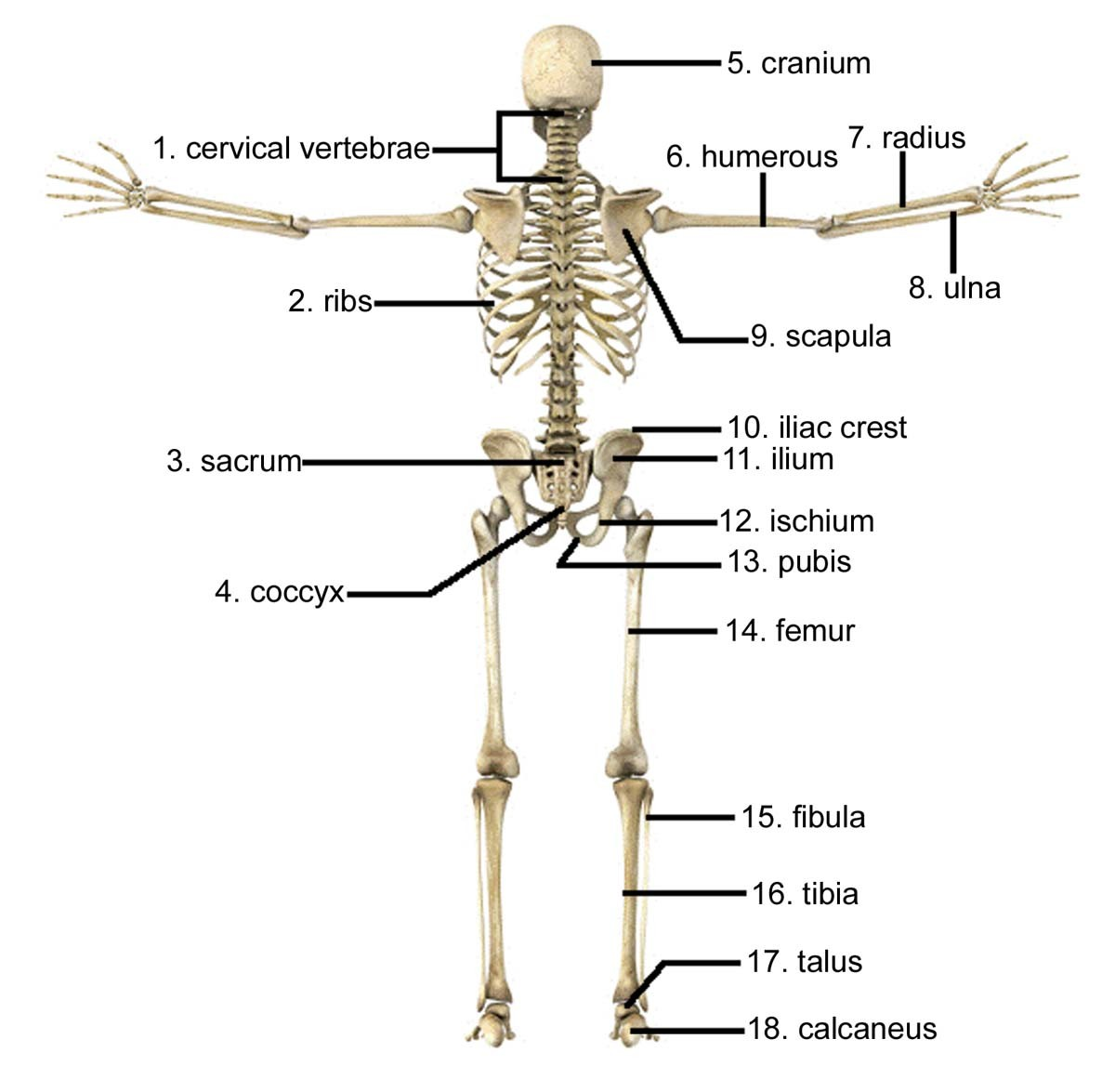 Human Body Skeleton Posterior View