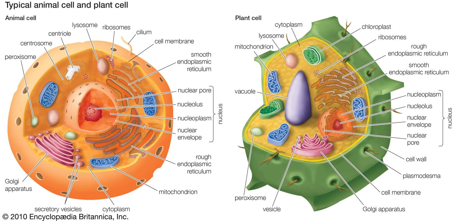 Typical Animal Cell And Plant Cell Diagram