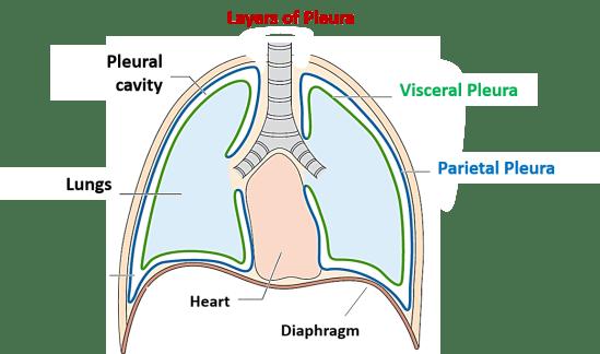 Layers of pleura