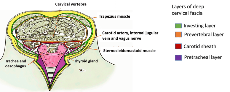 fascia cervical deep layers sheath carotid layer investing neck pretracheal anatomy pre tracheal around neurovascular bundle vertebral different head thyroid