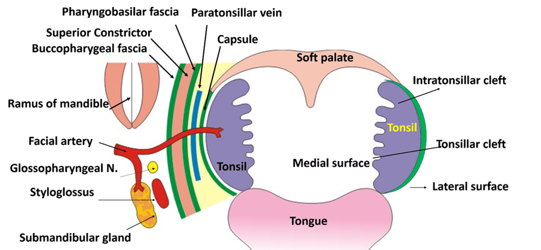 Unique Palatine Tonsil Ensign - Physiology Of Human Body Images ...