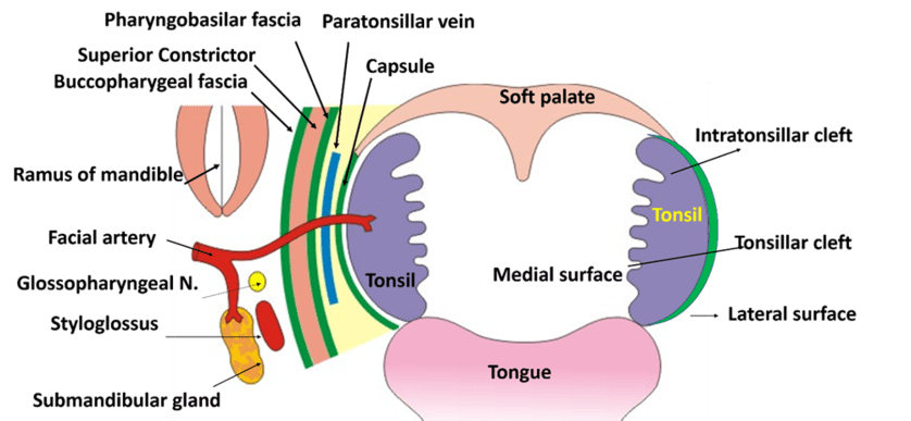 Palatine Tonsil - Relations, Blood supply, Waldyer\'s ring -