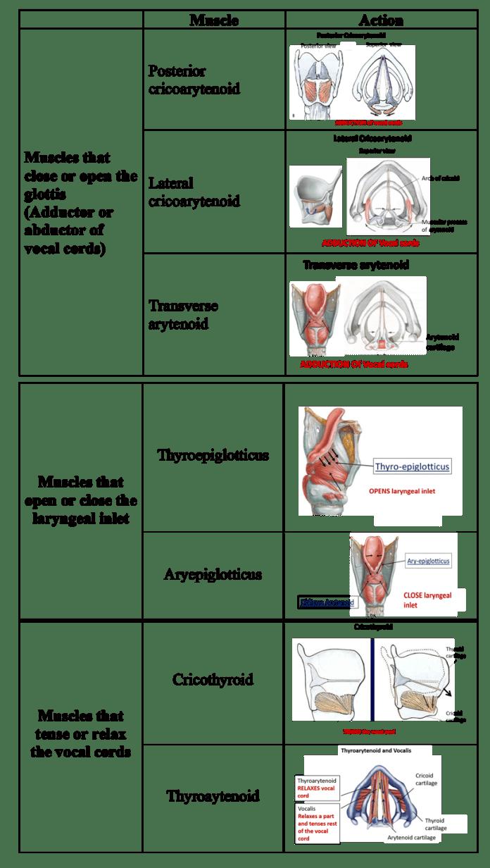 Larynx -