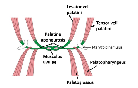 Palate - Parts, Muscles, Blood and Nerve supply