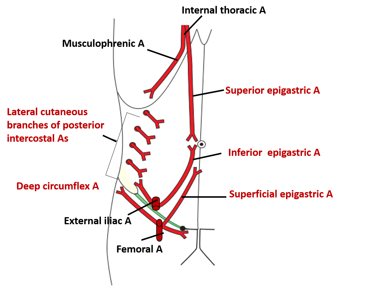 Unique Anatomy Anterior Abdominal Wall Mold - Human Anatomy Images ...