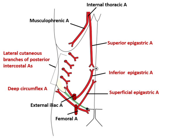 Anterior abdominal wall layers umbilicus muscles blood supply arterial supply of anterior abdominal wall ccuart Image collections