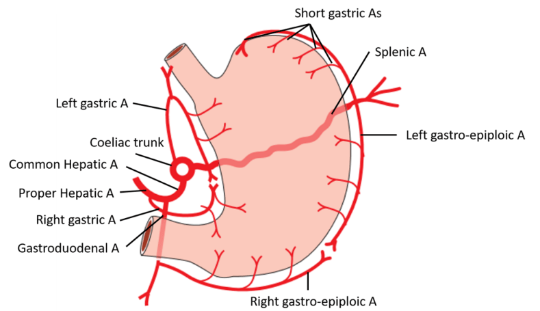 Stomach - pats, relations, blood & nerve supply, lymphatic drainage -