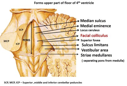 Pons anatomy-dorsal surface of pons