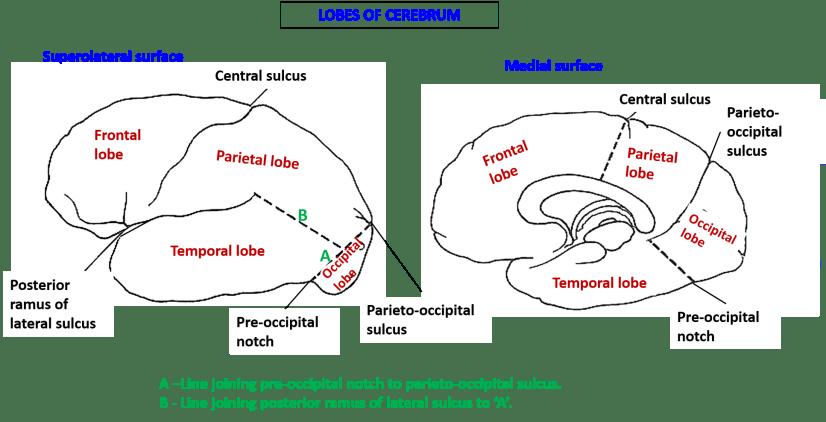 lobes of cerebrum
