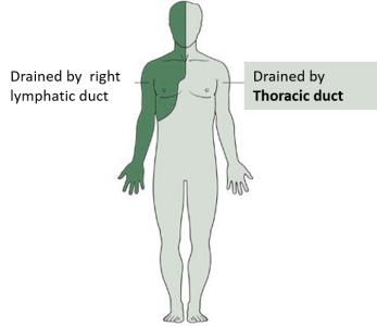 areas drained by thoracic duct