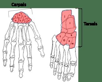 examples of short bones