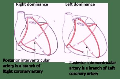 cardiac dominance