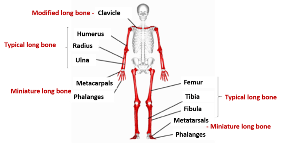 examples of long bones