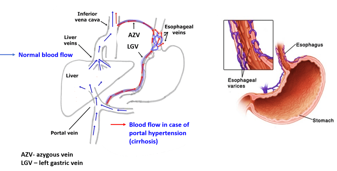 Oesophagus - sites of constrictions, arterial supply and venous ...