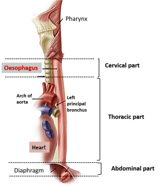 what is the relationship of oesophagus to heart