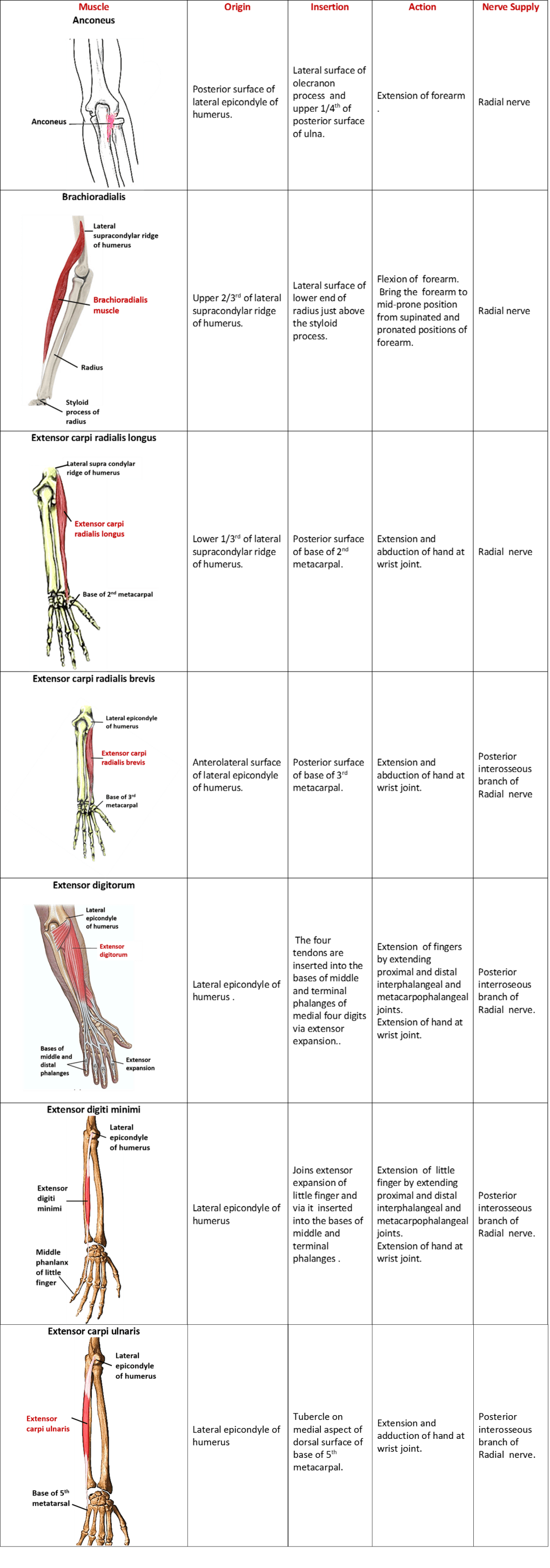 superficial extensor muscles of forearm