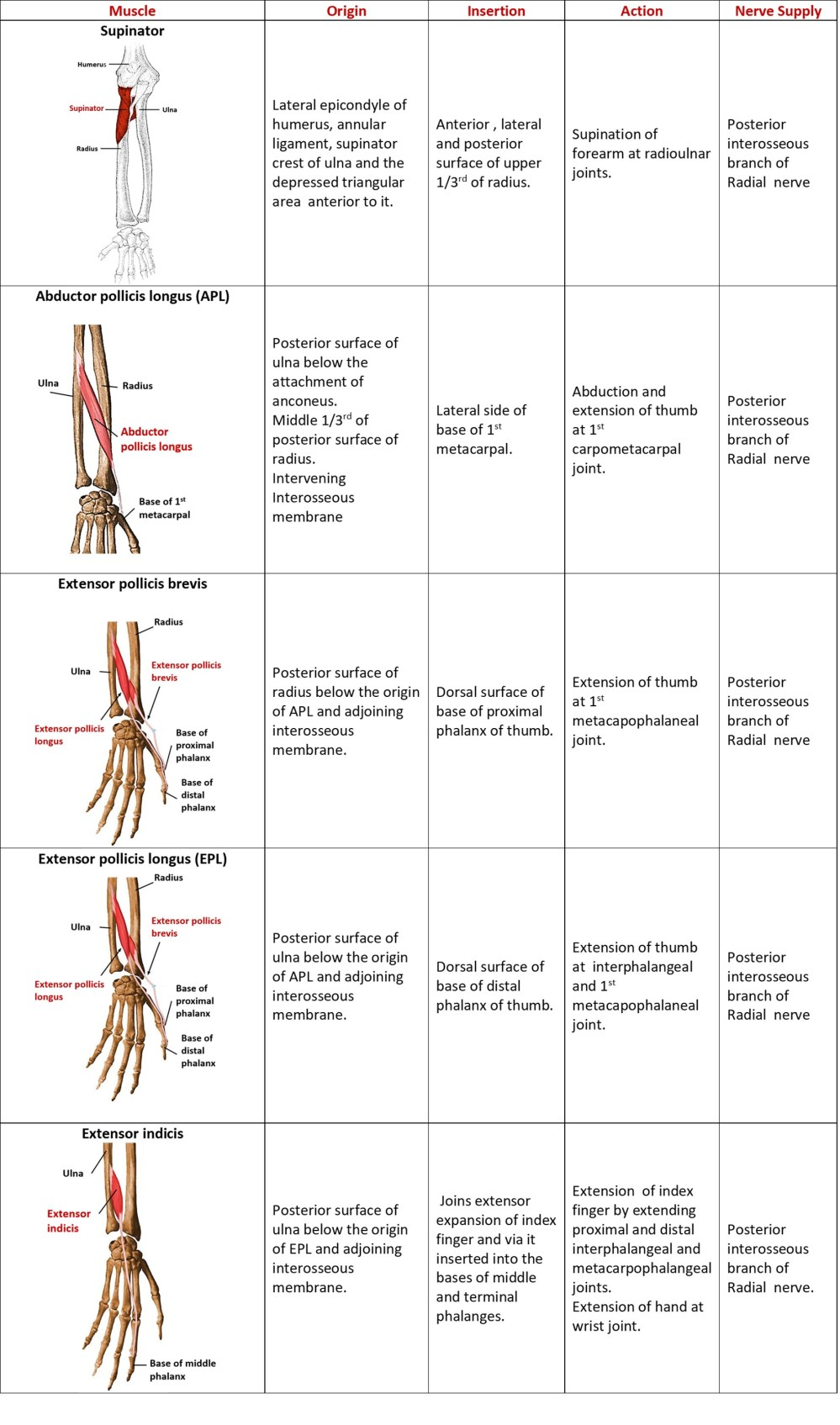 deep muscles of extensor compartment