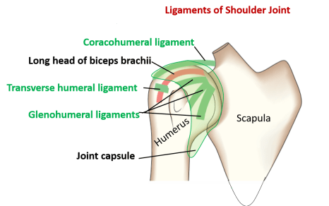 ligaments of shouldr joint