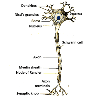 parts and structure of a neuron