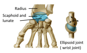ellipsoid joint
