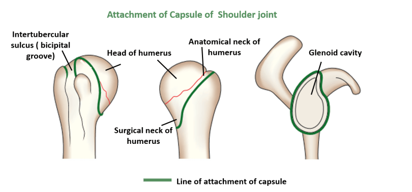 Shoulder Joint - Type, ligaments, movements and applied -